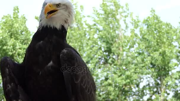 Bald eagle (Haliaeetus leucocephalus) is bird of prey found in North America. Sea eagle, it has two known subspecies and forms a species pair with white-tailed eagle (Haliaeetus albicilla).