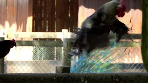 Kohout, také známý jako kohouta nebo kohout, je muž hrabavé pták, obvykle samec kuřete (Gallus gallus). Starší muž kuřata méně než jeden rok staré, se nazývají cockerels