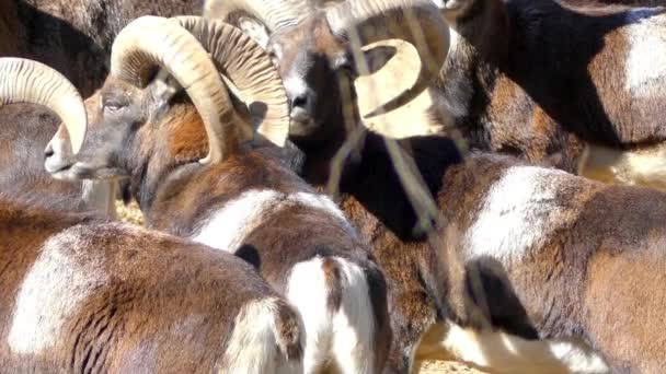 Mouflon (Ovis orientalis orientalis group) is subspecies group of wild sheep (Ovis orientalis). Populations can be partitioned into mouflons (orientalis group) and urials (vignei group).