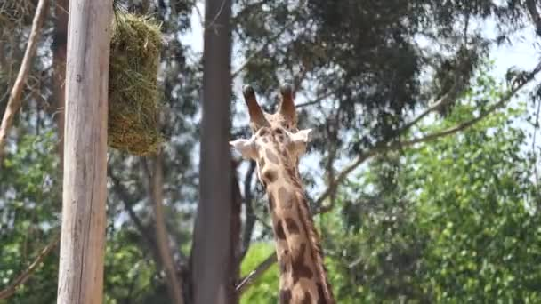 Giraffe (Giraffa camelopardalis) is an African even-toed ungulate mammal, tallest living terrestrial animal and largest ruminant. It is classified under family Giraffidae.