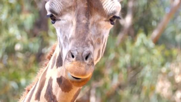 Žirafa (Giraffa camelopardalis) je africký prsty kopytníků savec, nejvyšší životní suchozemských zvířat a největší přežvýkavců. Je zařazen podle rodiny Giraffidae