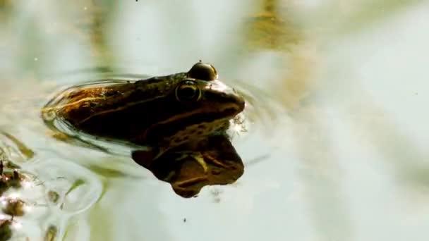 Tavi béka (Pelophylax ridibundus) natív Európába legnagyobb béka és igaz békák családjába tartozik. -A  igazi hasonló-ban megjelenés-hoz szorosan kapcsolódó ehető és medence béka.