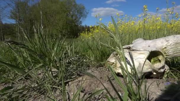 Stará bílá lebka RAM leží na zemi nedaleko pole s kvetoucí žlutý znásilnění.