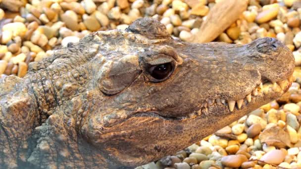 Dwarf crocodile (Osteolaemus tetraspis), also known commonly as the African dwarf, broad-snouted or bony crocodile, is an African crocodile that is also smallest extant species.