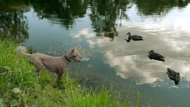 Kínai Copfos kutya meztelen tenyészt-ból kutya. Mint a legtöbb szőrtelen kutyafajták, Kínai Tajtékos jön két fajta, és nélkül prémes, az ugyanazon alom született: púderpamacs és meztelen.