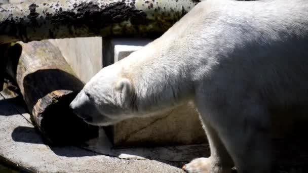 Polar bear (Ursus maritimus) is carnivorous bear whose native range lies largely within Arctic Circle, encompassing Arctic Ocean, its surrounding seas and surrounding land masses.