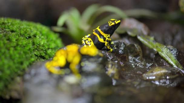 Das Gelb gebändert Gift Dart Frosch (Dendrobates Leucomelas), auch bekannt als Gelbkopf-Gift Dart Frosch oder Hummel-Baumsteiger ist ein giftiger Frosch von Dendrobates Pflanzengattung aus der Familie der Baumsteigerfrösche