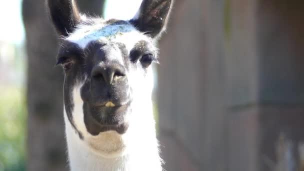 Láma (láma glama) a háziasított Dél-amerikai tevefélék, széles körben használják hús és állati pack Andok kultúrák Kolumbusz előtti korszak óta.