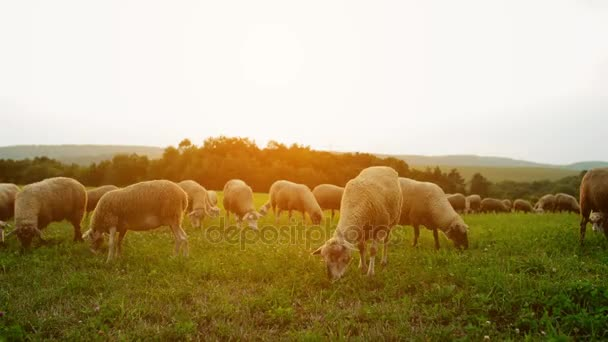 Stádo ovcí pasoucí se v louce na úpatí Karpat na Slovensku.
