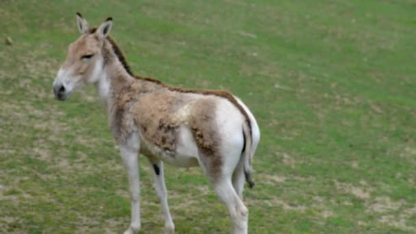 Onager (Equus hemionus), also known as hemione or Asiatic wild ass, is species of family Equidae (horse family) native to Asia. A member of subgenus Asinus.