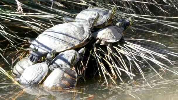 Sternotherus odoratus je druh původem z jihovýchodní Kanady malé želvy a mnoho z východní části Spojených států. To je také známé jako východní pižmo Hrdlička