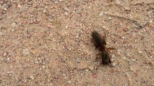 Maulwurfshühner sind Mitglieder der Insektenfamilie Gryllotalpidae, um Orthoptera (Heuschrecken, Heuschrecken und Grillen). Maulwurfgrillen sind zylindrische, etwa 35 Zentimeter lange Insekten..