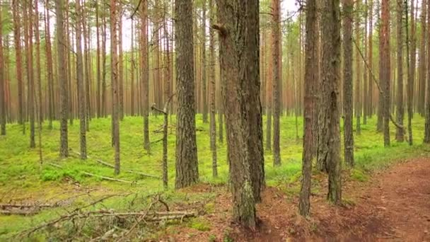 Pine forest with tall trees in mid-Polish strip.