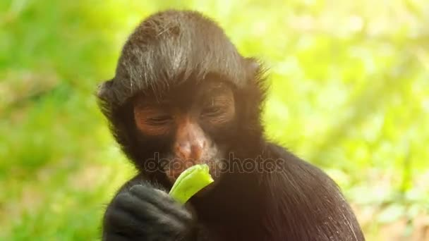 Red-faced black spider monkey (Ateles paniscus) also known as Guiana spider monkey, is species of spider monkey found in rain forests in northern South America.