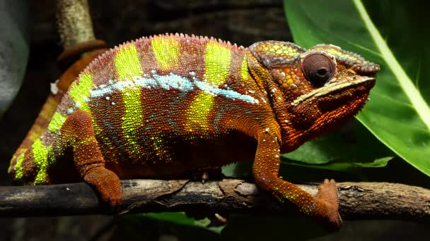 Panter chameleon (Furcifer pardalis) je druh chameleona v východní a severní části Madagaskaru v biomu tropického lesa. Navíc to bylo zavedeno na Réunion a Mauritius