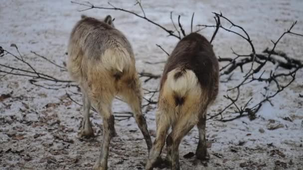 Sob (Rangifer tarandus), také známý jako karibu v Severní Americe, je druh jelena s cirkumpolárním rozšířením, původem z arktické, subarktické, tundra, boreální a horských oblastí