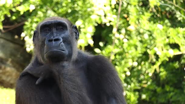 Gorillas are ground-dwelling, predominantly herbivorous apes that inhabit forests of central Africa. Eponymous genus Gorilla is divided into two species: eastern gorillas and western gorillas.