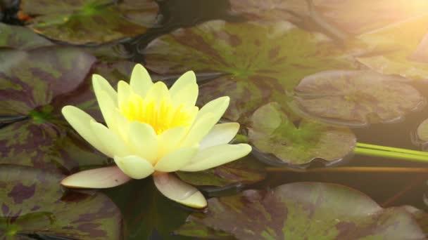 Nymphaea a neme a szívós és pályázati vízi növények Nymphaeaceae család. Nemzetség a kozmopolita élőlény. Növények nemzetség általánosan ismert, mint a víz liliomok.