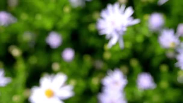 Symphyotrichum novae-angliae commonly known as New England aster, hairy Michaelmas-daisy or Michaelmas daisy, is flowering herbaceous perennial plant in Asteraceae family.