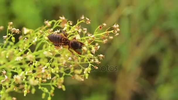 Krtonožka obecná, známá jako evropský mole cricket, je rozšířený v Evropě a byla zavedena na východě Spojených států. Jméno je odvozeno od latinského Cvrček význam kriket a talpa