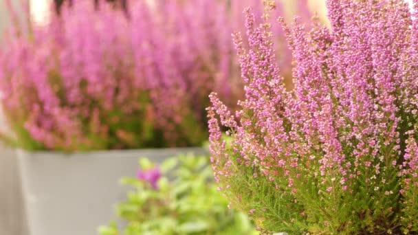 Calluna vulgaris (common heather, ling or simply heather) is sole species in genus Calluna in flowering plant family Ericaceae. It is low-growing perennial shrub.