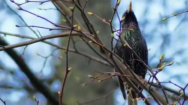 Špaček obecný (Sturnus vulgaris), také známý jako Evropská Starlingová, nebo britských ostrovech jen starling, je střední zpěvný pták v Starlingová čeledi špačkovitých.