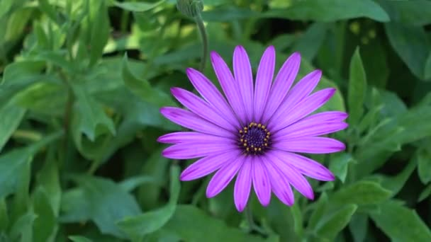 Osteospermum daisybushes is a genus of flowering plants belonging to Calenduleae, one of smaller tribes of sunflower or daisy family Asteraceae. Osteospermum used to belong to genus Dimorphotheca.