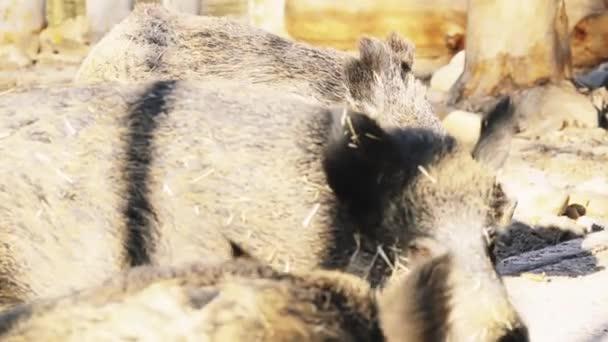 野生の豚ユーラシア野生の豚、ま...
