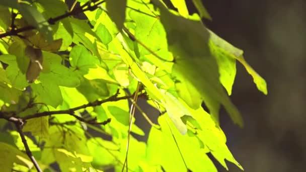 Acer campestre, známý jako javor babyka, je druhů kvetoucích rostlin v rodině soapberry a liči Sapindaceae. Je původem z velké části Evropy