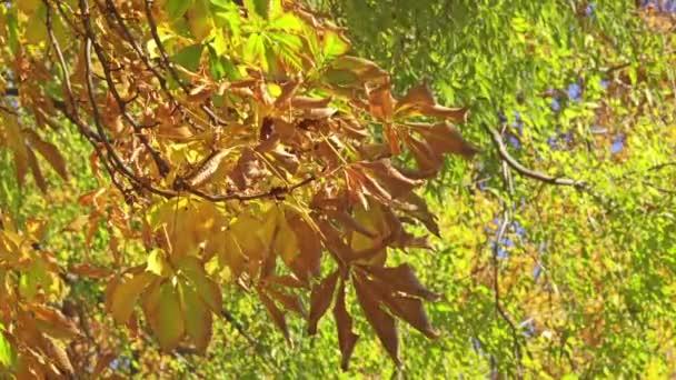 Jírovec maďal je druh rostlin patřící do čeledi soapberry a liči Sapindaceae. To je velký listnatý, synoecious (hermafrodit květovaný)