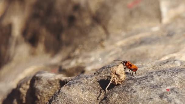 Nymfa Firebug nese suché květiny. Firebug, Pyrrhocoris apterus, je společné hmyz rodiny Pyrrhocoridae. Snadno rozpoznatelné díky své výrazné červené a černé zbarvení