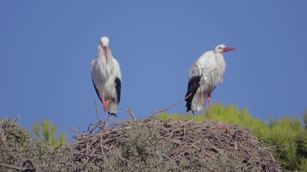 White stork (Ciconia ciconia) is large bird in stork family Ciconiidae. Its plumage is mainly white, with black on its wings.