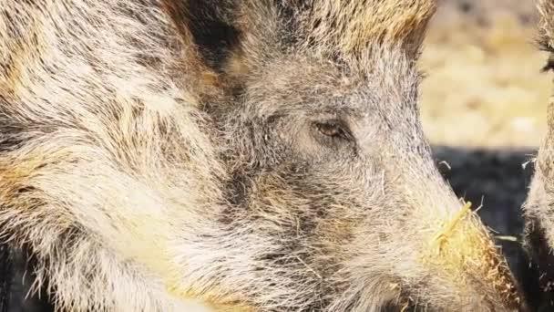 Prase divoké (Sus scrofa), také známý jako zvěře euroasijské divoké prase, nebo jednoduše divoké prase je suid původem z velkou část Eurasie, severní Afriky a velké Sundy