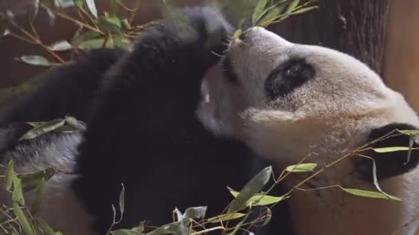 Giant panda (Ailuropoda melanoleuca, black and white cat-foot), also known as panda bear or simply panda, is bear native to south central China.