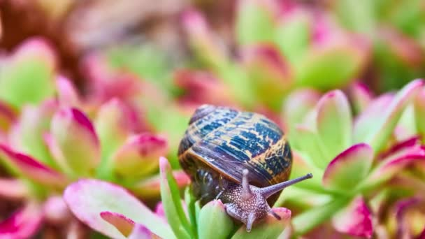Helix pomatia, common names Roman snail, Burgundy snail, edible snail or escargot, is species of large, edible, air-breathing land snail, terrestrial pulmonate gastropod mollusk in family Helicidae.