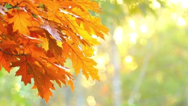 Zarudlou listy dubu v podzimní městském parku při západu slunce.