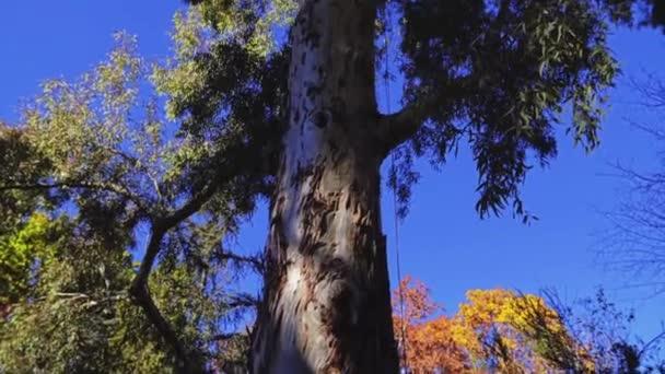 Eukalyptus camaldulensis, řeka červená guma, je strom rodu eukalyptu. Je to jeden z asi 800 druhů v rámci rodu. To je druh plantáž v mnoha částech světa, ale je původem z Austrálie.