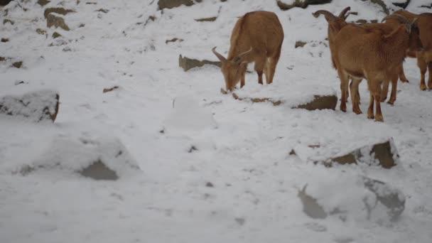 Barbary juh (Ammotragus lervia) az caprid (kecskeformák) Sziklás-hegység Észak-Afrikában őshonos faj. Az is ismert, mint aoudad, waddan, arui és arruis.