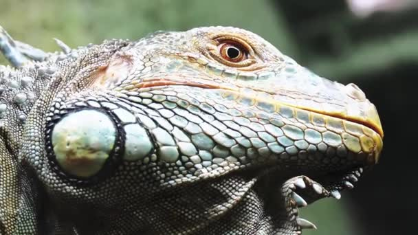 Green iguana, also known as American iguana, is large, arboreal, mostly herbivorous species of lizard of genus Iguana. It is native to Central, South America, and Caribbean.