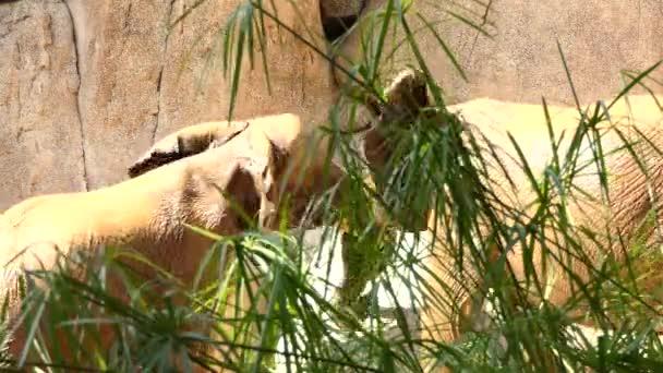 Afrikai elefánt (Loxodonta africana), is úgy ismert elefánt afrikai szavanna, a nagyobb a két faj afrikai elefánt.