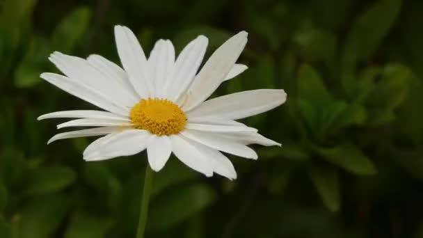 Matricaria chamomilla (recutita), heřmánek (heřmánek), lékařský, heřmánek, kamilla, divoký heřmánek nebo vonné Marunka, je jednoletá rostlina z kompozitu čeledi hvězdnicovité