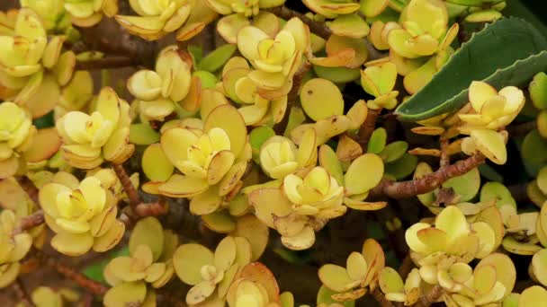 Crassula ovata plante jade arbre de l amiti plante porte bonheur usine d argent ou un arbre - Plante d interieur porte bonheur ...