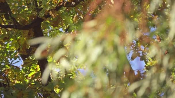 Eukalyptus camaldulensis, řeka červená guma, je strom rodu eukalyptu. Je to jeden z asi 800 druhů v rámci rodu. To je druh plantáž v mnoha částech světa, ale je původem z Austrálie