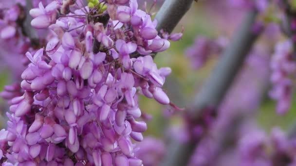 Narcis (narcis, narcis, narcis a jonquil) je rod převážně jarních trvalek čeledi Amaryllidaceae (amaryllis).