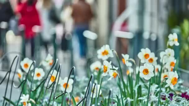 Nárcisz (nárcisz, daffadowndilly, nárcisz és Timor-pirosszárnyú) egyik neme túlnyomórészt tavaszi évelő növények (Amarillisz) Amaryllidaceae család.