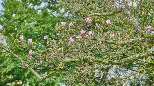 Magnolia Soulangeana Saucer Magnolia Is Hybrid Plant In Genus
