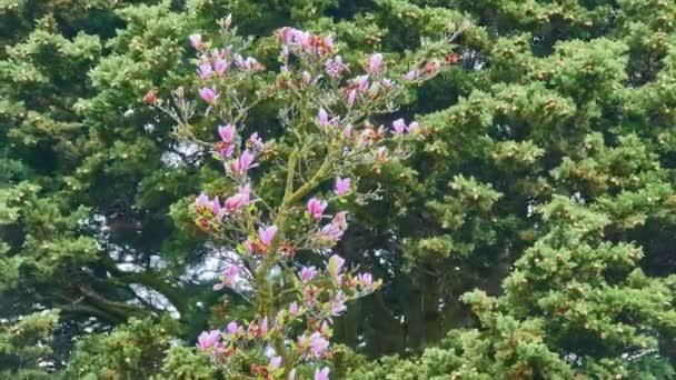 Magnolia soulangeana je hybridní rostlina rodu Magnolia a čeledi Magnoliaceae. Je to opadavý strom s velkými, brzy kvetoucími květy v různých odstínech bílé, růžové a fialové.