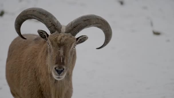 Barbary sheep (Ammotragus lervia) is a species of caprid (goat-antelope) native to rocky mountains in North Africa. It is also known as aoudad, waddan, arui, and arruis.