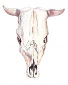 Fotografia Cranio del bull dellacquerello sopra bianco