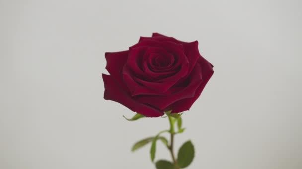 Červený květ růže zblízka